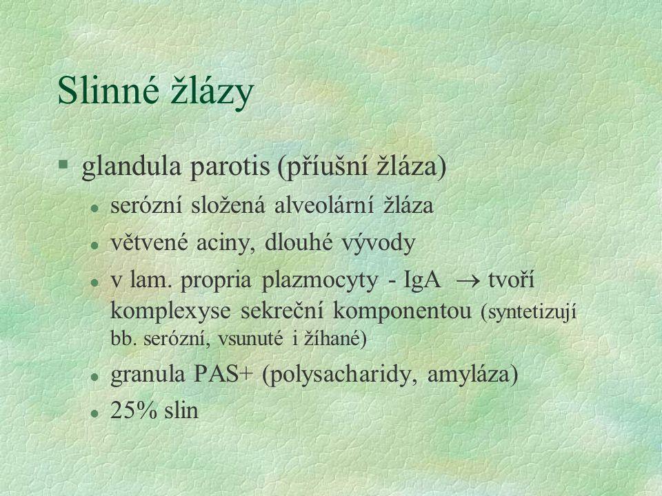 Slinné žlázy glandula parotis (příušní žláza)