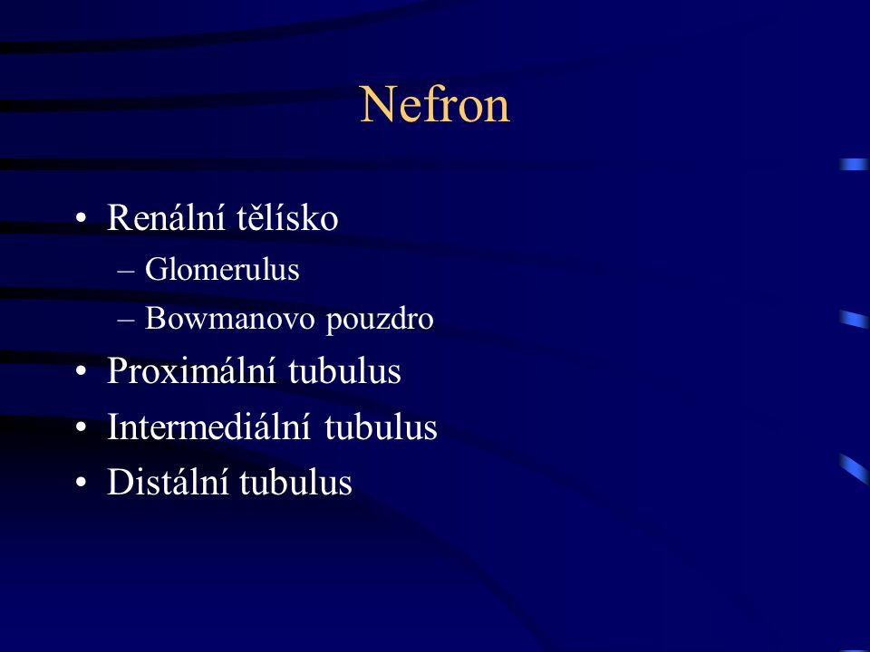 Nefron Renální tělísko Proximální tubulus Intermediální tubulus