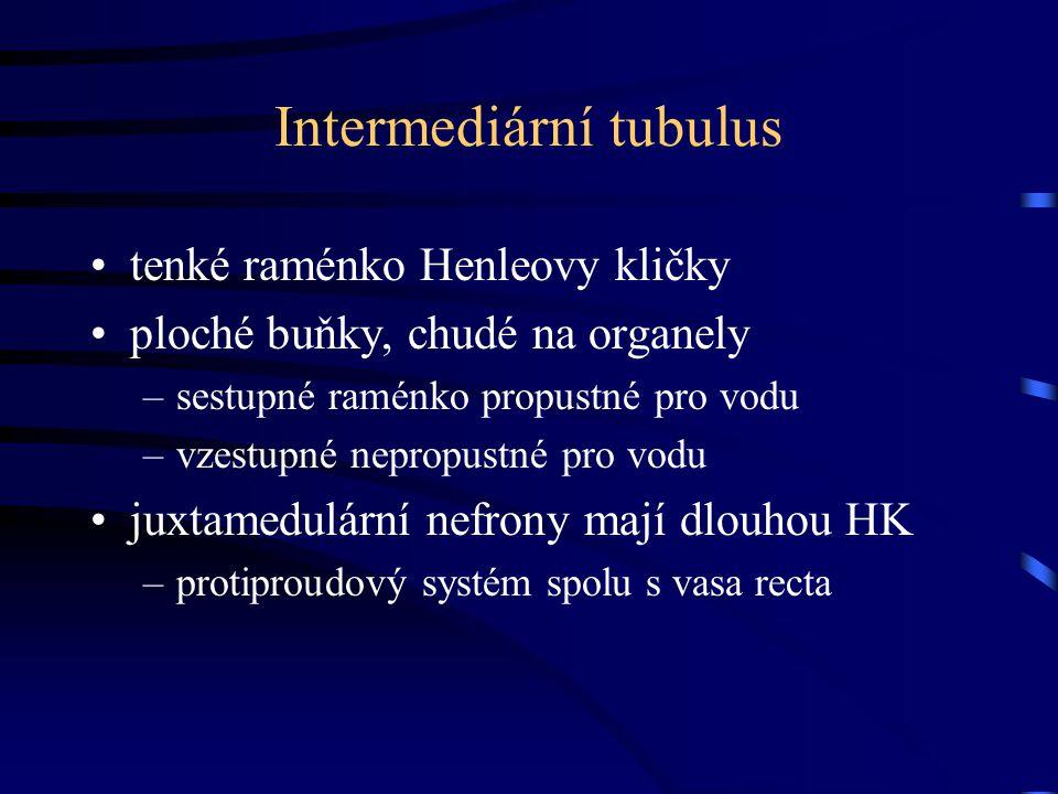 Intermediární tubulus