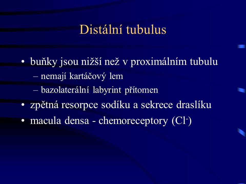 Distální tubulus buňky jsou nižší než v proximálním tubulu