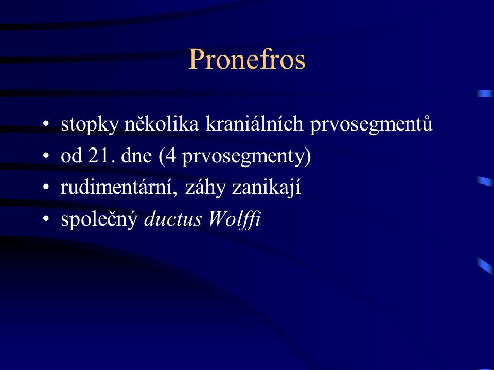 Pronefros stopky několika kraniálních prvosegmentů