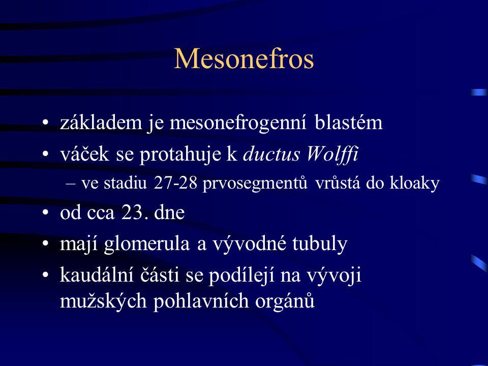 Mesonefros základem je mesonefrogenní blastém