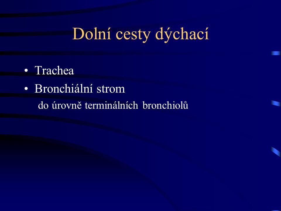 Dolní cesty dýchací Trachea Bronchiální strom