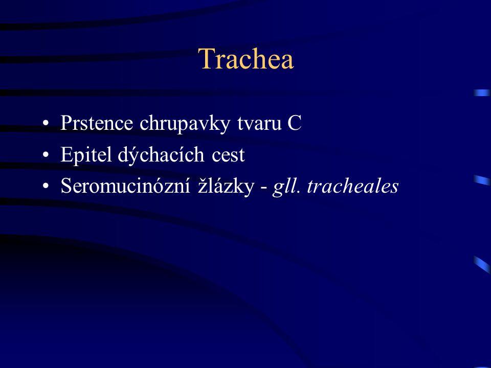 Trachea Prstence chrupavky tvaru C Epitel dýchacích cest