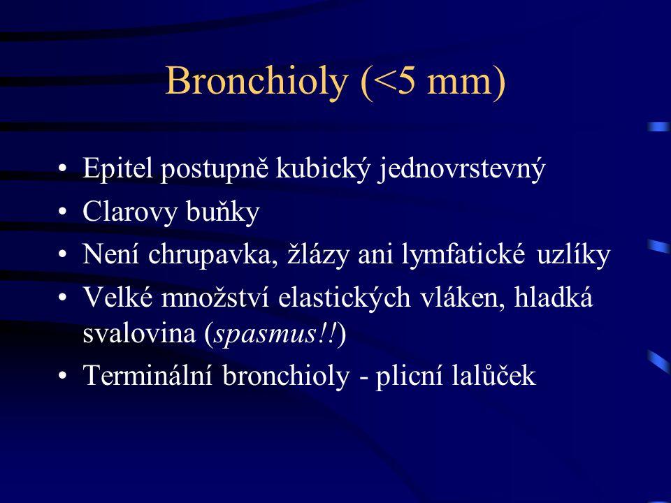 Bronchioly (<5 mm) Epitel postupně kubický jednovrstevný
