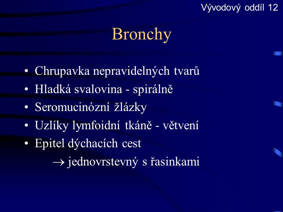 Bronchy Chrupavka nepravidelných tvarů Hladká svalovina - spirálně