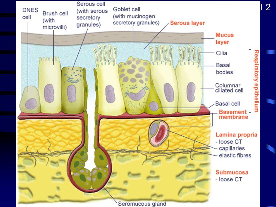 Epitel dýchacích cest Víceřadý cylindrický s řasinkami