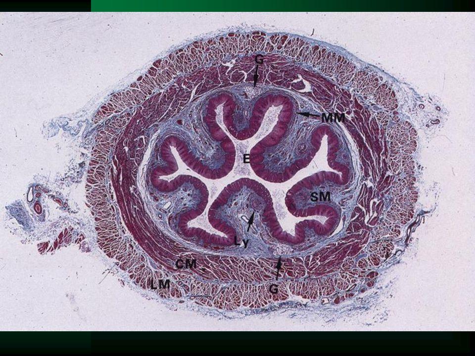 Jícen (oesophagus) vícevrstevný nerohovějící dlaždicový epitel