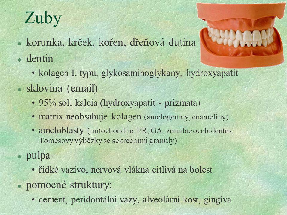 Zuby korunka, krček, kořen, dřeňová dutina dentin sklovina (email)