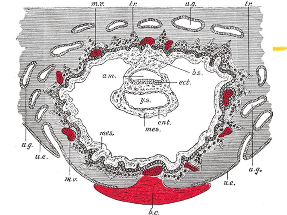 Placenta - vývoj mateřská komponenta fetální komponenta