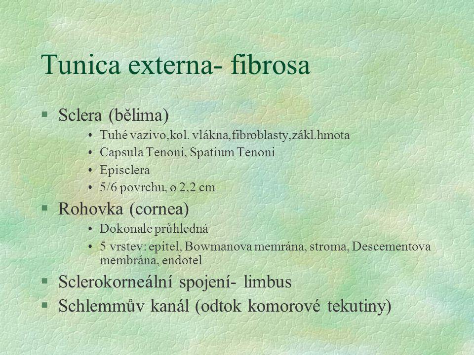 Tunica externa- fibrosa