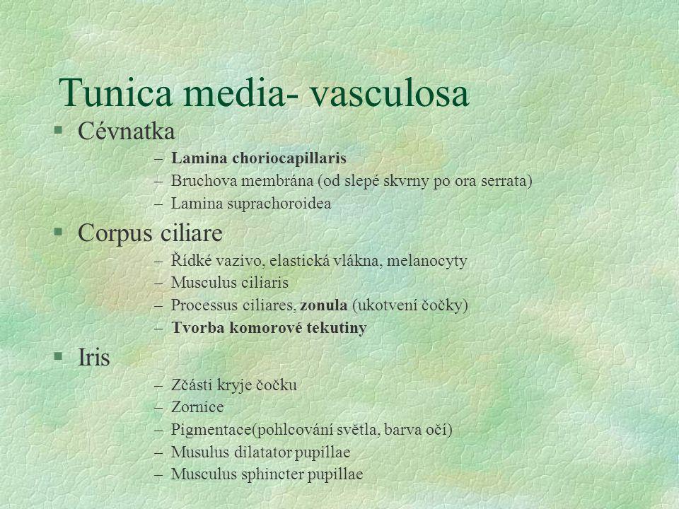 Tunica media- vasculosa