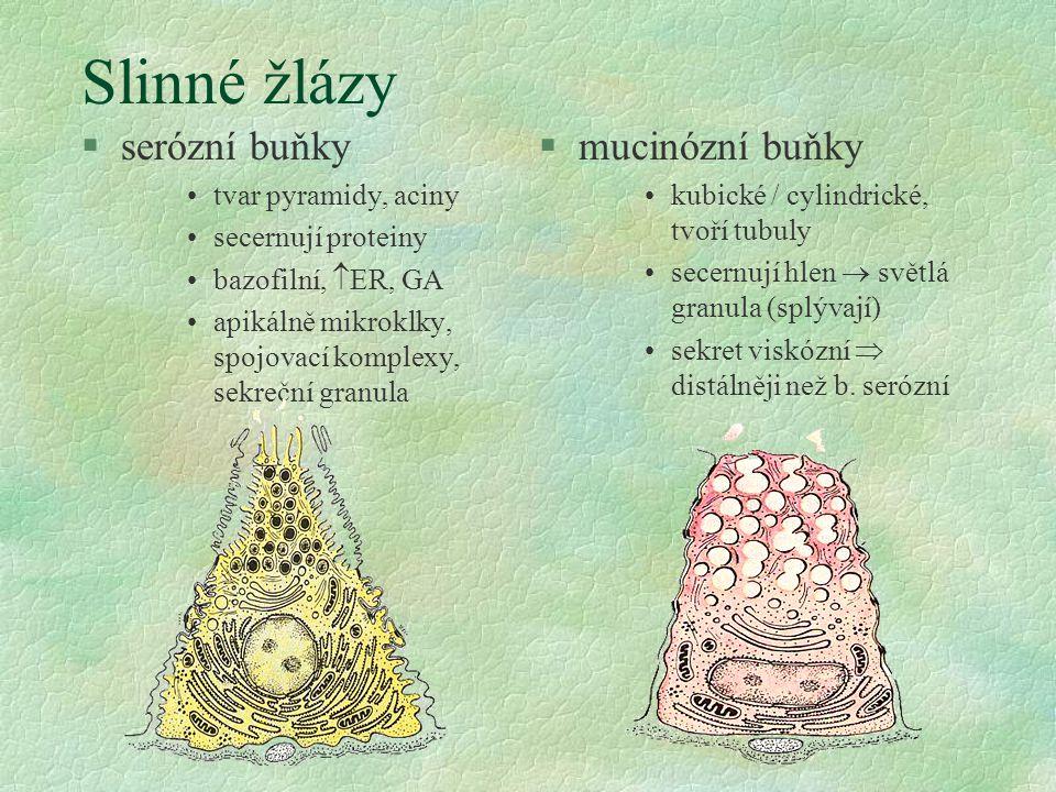 Slinné žlázy serózní buňky mucinózní buňky tvar pyramidy, aciny