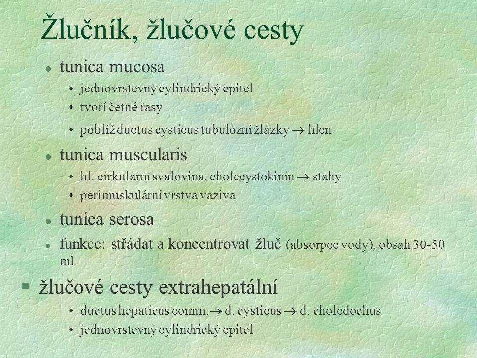 Žlučník, žlučové cesty žlučové cesty extrahepatální tunica mucosa
