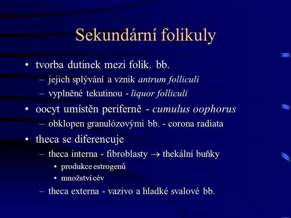 Sekundární folikuly tvorba dutinek mezi folik. bb.