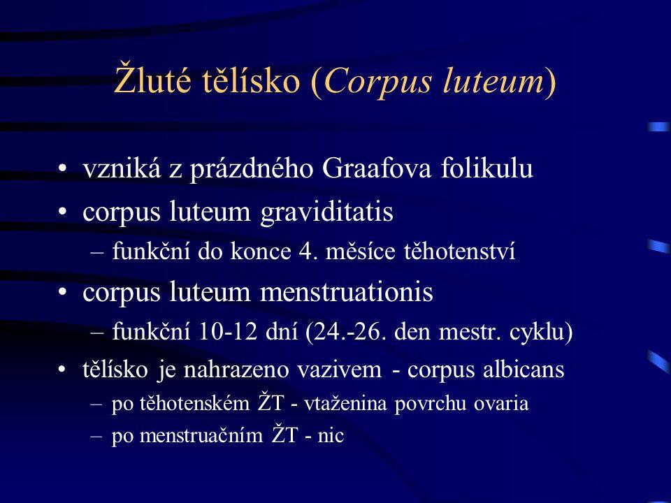 Žluté tělísko (Corpus luteum)