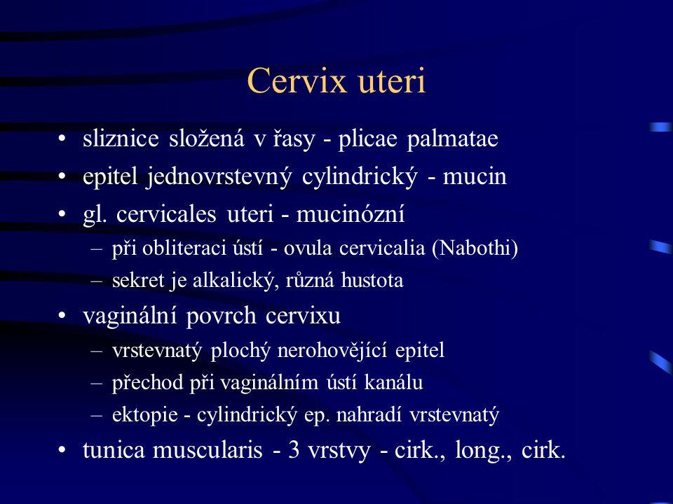 Cervix uteri sliznice složená v řasy - plicae palmatae