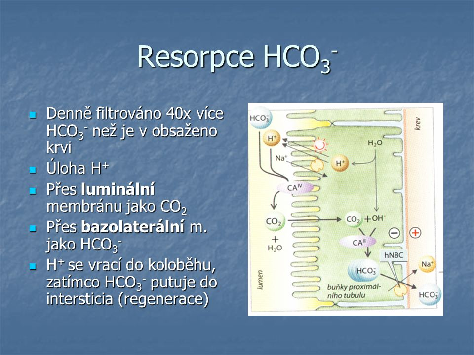 Resorpce HCO3- Denně filtrováno 40x více HCO3- než je v obsaženo krvi
