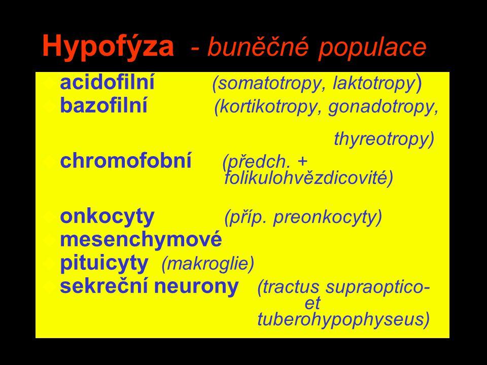 Hypofýza - buněčné populace
