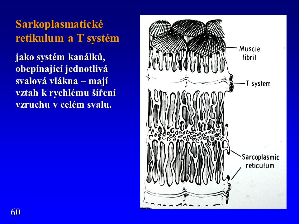 Sarkoplasmatické retikulum a T systém