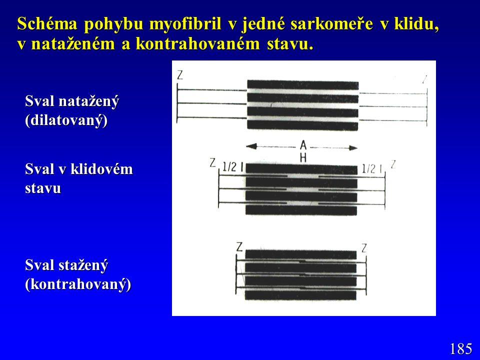Schéma pohybu myofibril v jedné sarkomeře v klidu, v nataženém a kontrahovaném stavu.