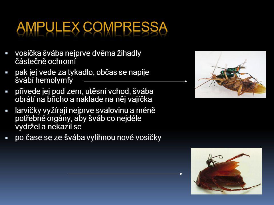 Ampulex compressa vosička švába nejprve dvěma žihadly částečně ochromí