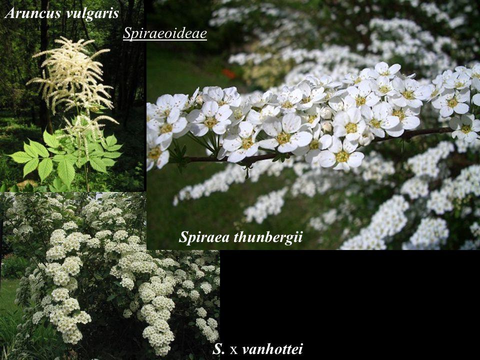 Aruncus vulgaris Spiraeoideae Spiraea thunbergii S. x vanhottei