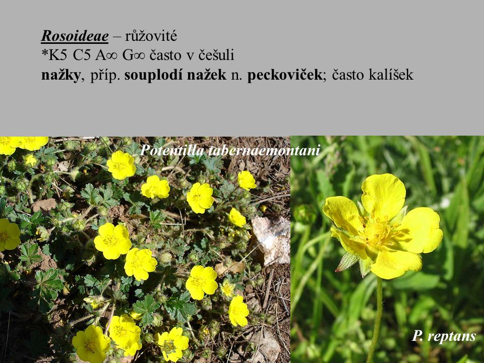 Rosoideae – růžovité *K5 C5 A G často v češuli. nažky, příp. souplodí nažek n. peckoviček; často kalíšek.
