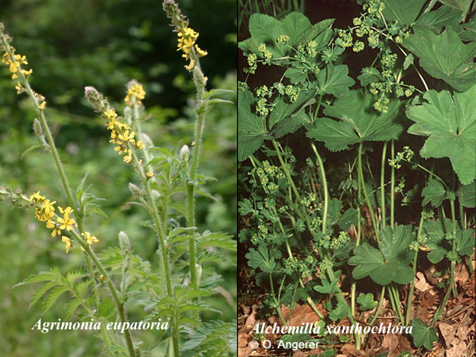 Agrimonia eupatoria Alchemilla xanthochlora