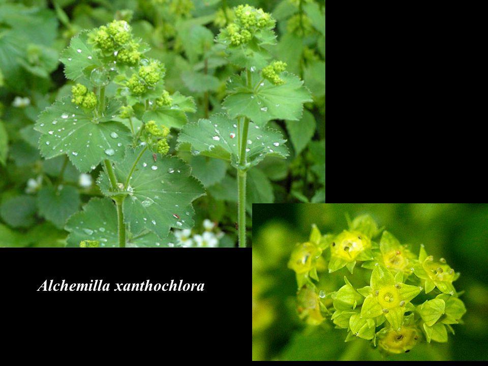 Alchemilla xanthochlora