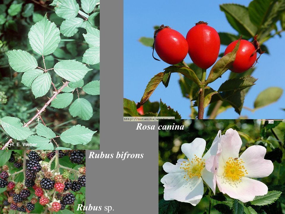 Rosa canina Rubus bifrons Rubus sp.
