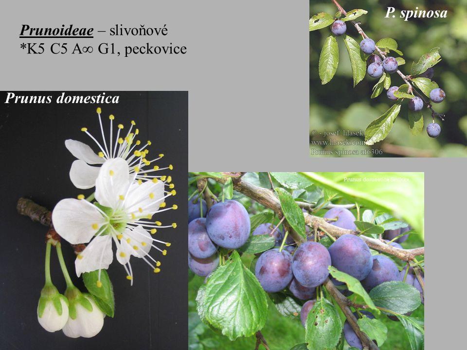 P. spinosa Prunoideae – slivoňové *K5 C5 A G1, peckovice Prunus domestica