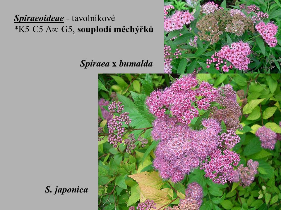 Spiraeoideae - tavolníkové