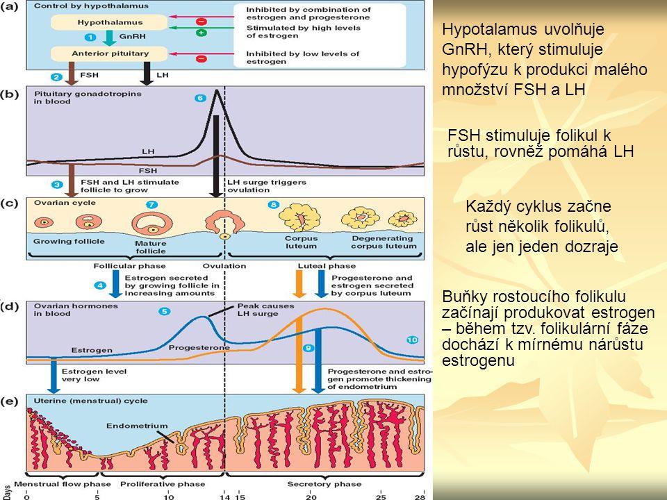 Hypotalamus uvolňuje GnRH, který stimuluje hypofýzu k produkci malého množství FSH a LH