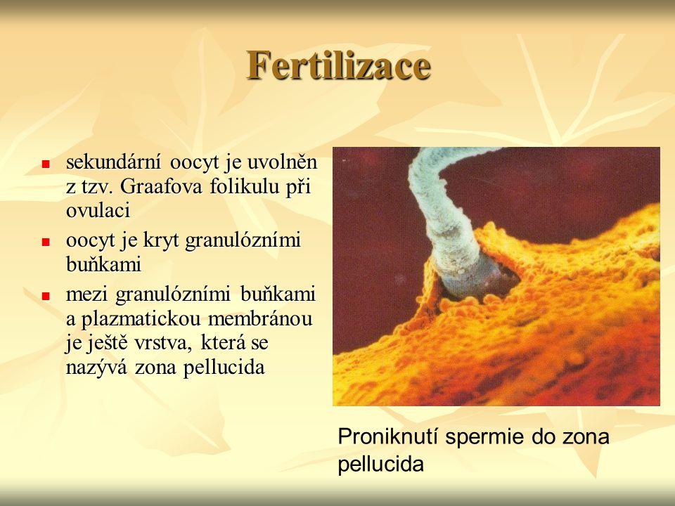 Fertilizace sekundární oocyt je uvolněn z tzv. Graafova folikulu při ovulaci. oocyt je kryt granulózními buňkami.
