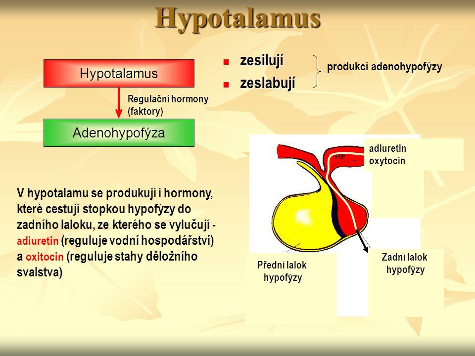 Hypotalamus zesilují zeslabují Hypotalamus Adenohypofýza