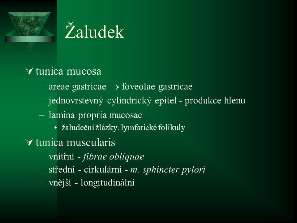 Žaludek tunica mucosa tunica muscularis