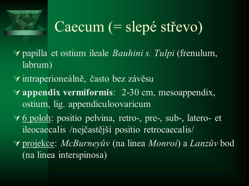 Caecum (= slepé střevo)