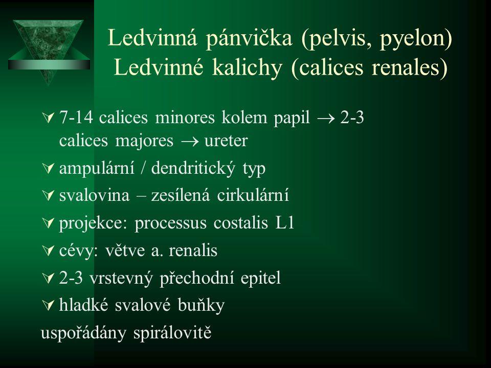 Ledvinná pánvička (pelvis, pyelon) Ledvinné kalichy (calices renales)