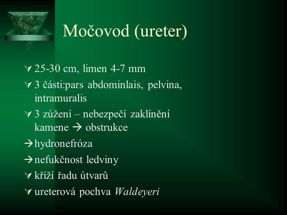 Močovod (ureter) 25-30 cm, limen 4-7 mm