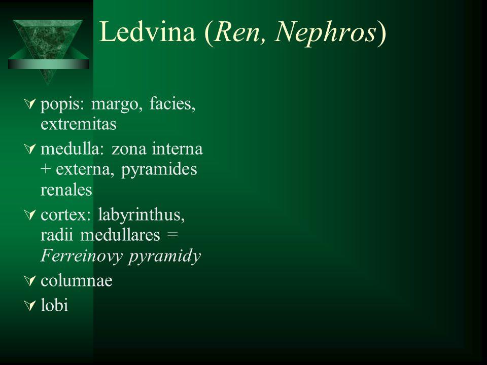 Ledvina (Ren, Nephros) popis: margo, facies, extremitas