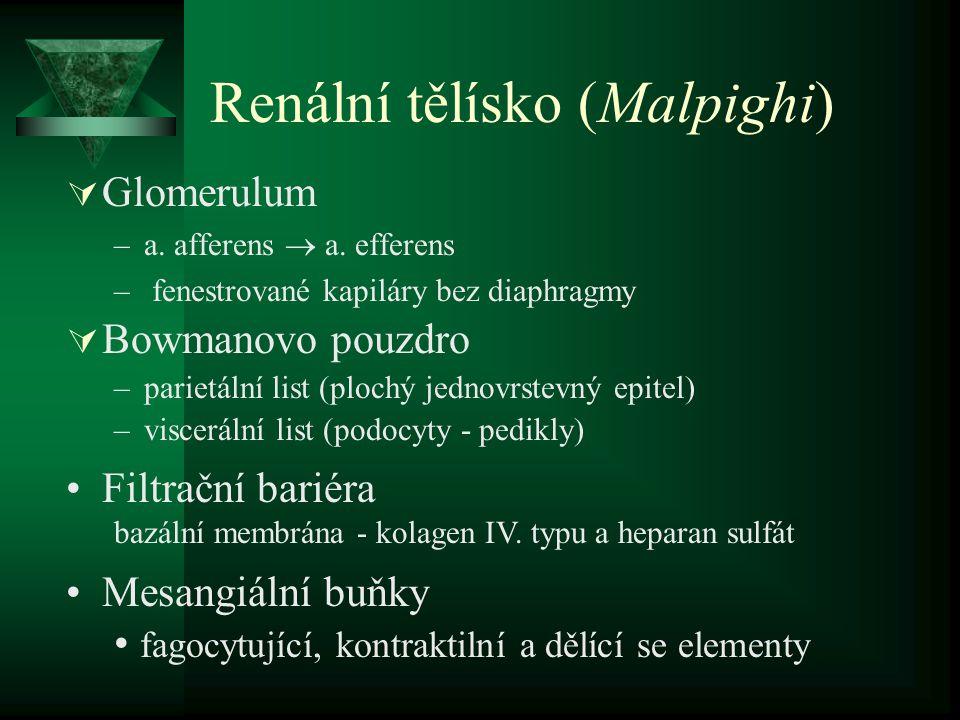 Renální tělísko (Malpighi)