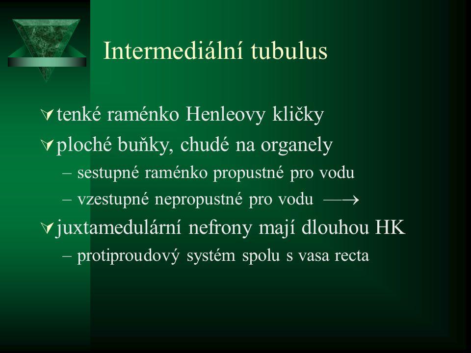 Intermediální tubulus
