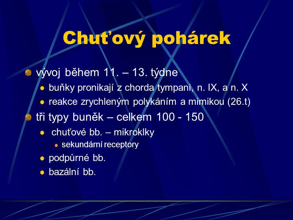 Chuťový pohárek vývoj během 11. – 13. týdne