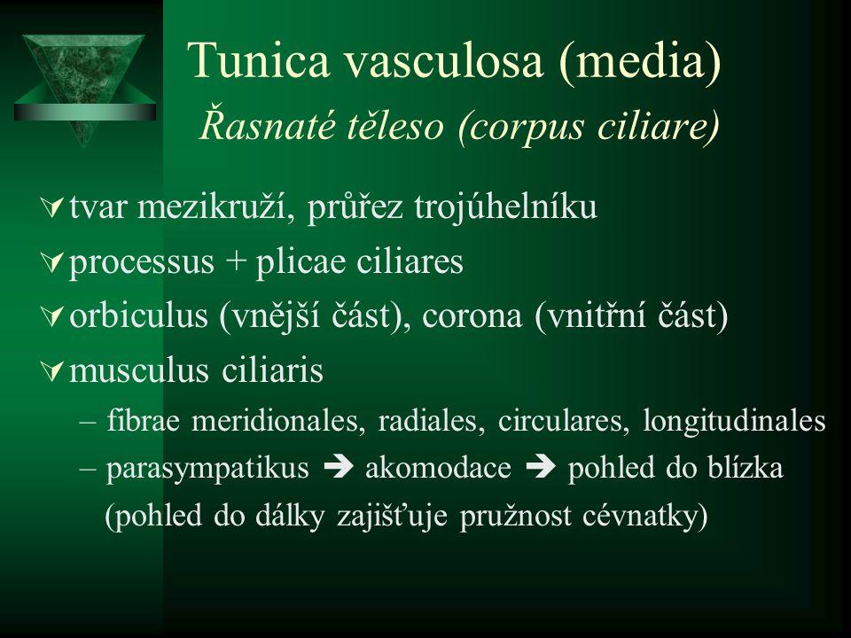 Tunica vasculosa (media) Řasnaté těleso (corpus ciliare)