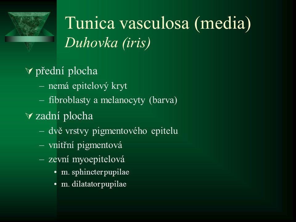 Tunica vasculosa (media) Duhovka (iris)