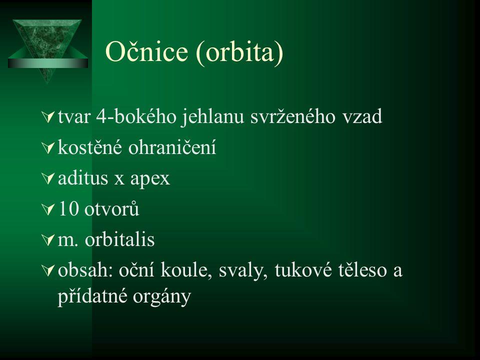 Očnice (orbita) tvar 4-bokého jehlanu svrženého vzad