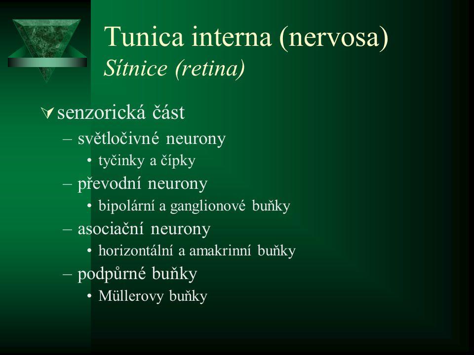 Tunica interna (nervosa) Sítnice (retina)