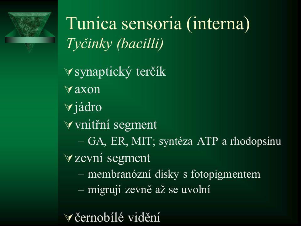 Tunica sensoria (interna) Tyčinky (bacilli)