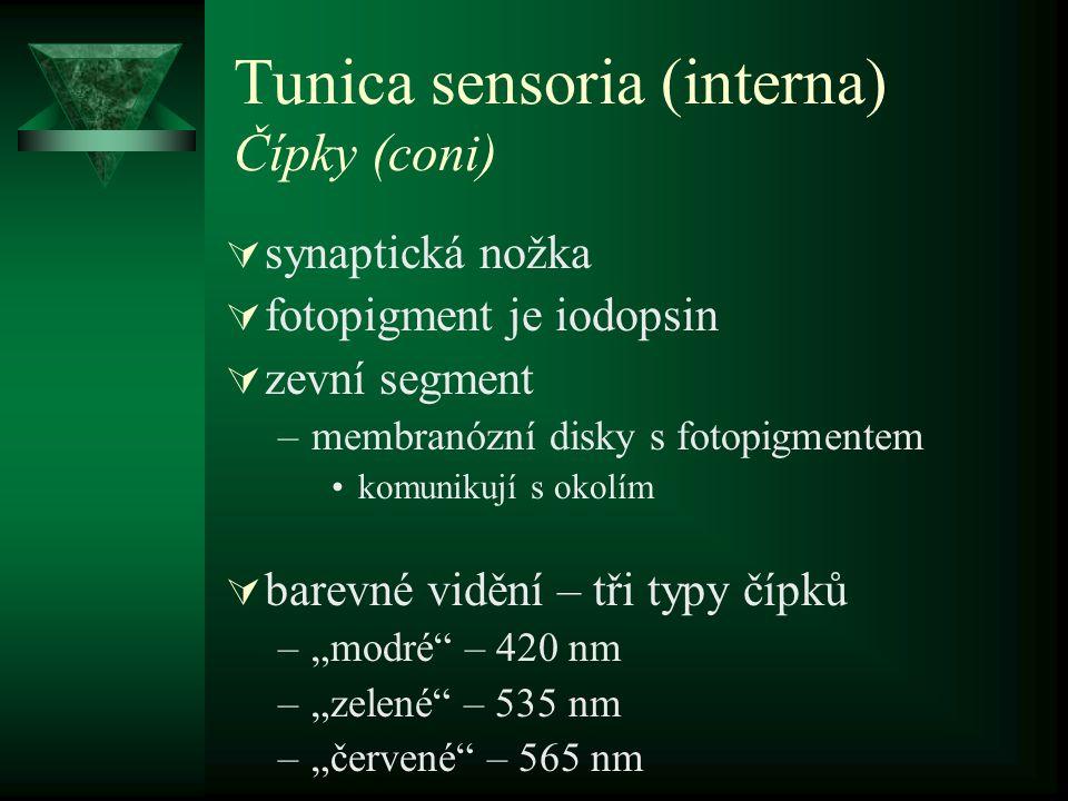 Tunica sensoria (interna) Čípky (coni)